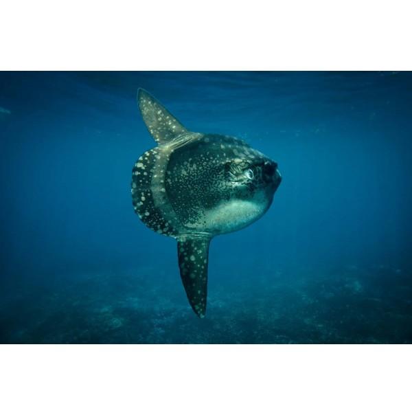 Le Mola Mola ou de son petit nom le Poisson Lune.